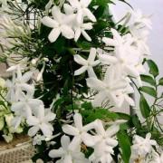 Комнатный цветок жасмин полиантовый
