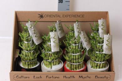 Дерево счастья - Лаки Бамбук - Lucky Bamboo - Дерево счастья - Лаки Бамбук - Lucky Bamboo