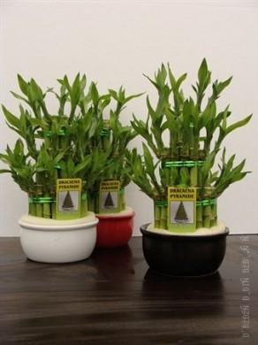 Дерево счастья - Лаки Бамбук - Lucky Bamboo - 25-30 см Оберегает дом и приносит удачу
