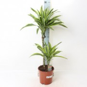 Драцена  Лемон Лайм Dracaena Lemon Lime
