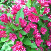 Вейгела гибридная Ред Принс Weigela hybrida Red Prince