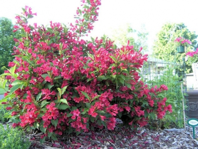 Вейгела гибридная Ред Принс Weigela hybrida Red Prince - Вейгела гибридная Ред Принс Weigela hybrida Red Prince