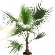 Вашингтония Washingtonia Robusta