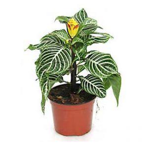 Цветок афеландра  уход и размножение в домашних условиях