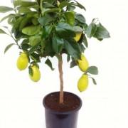 Цитрофортунелла цитрус лимон