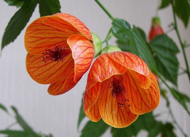 Купить Цветок Абутилон В Интернет Магазине Недорого