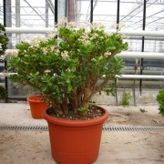 Денежное дерево цветущее крассула